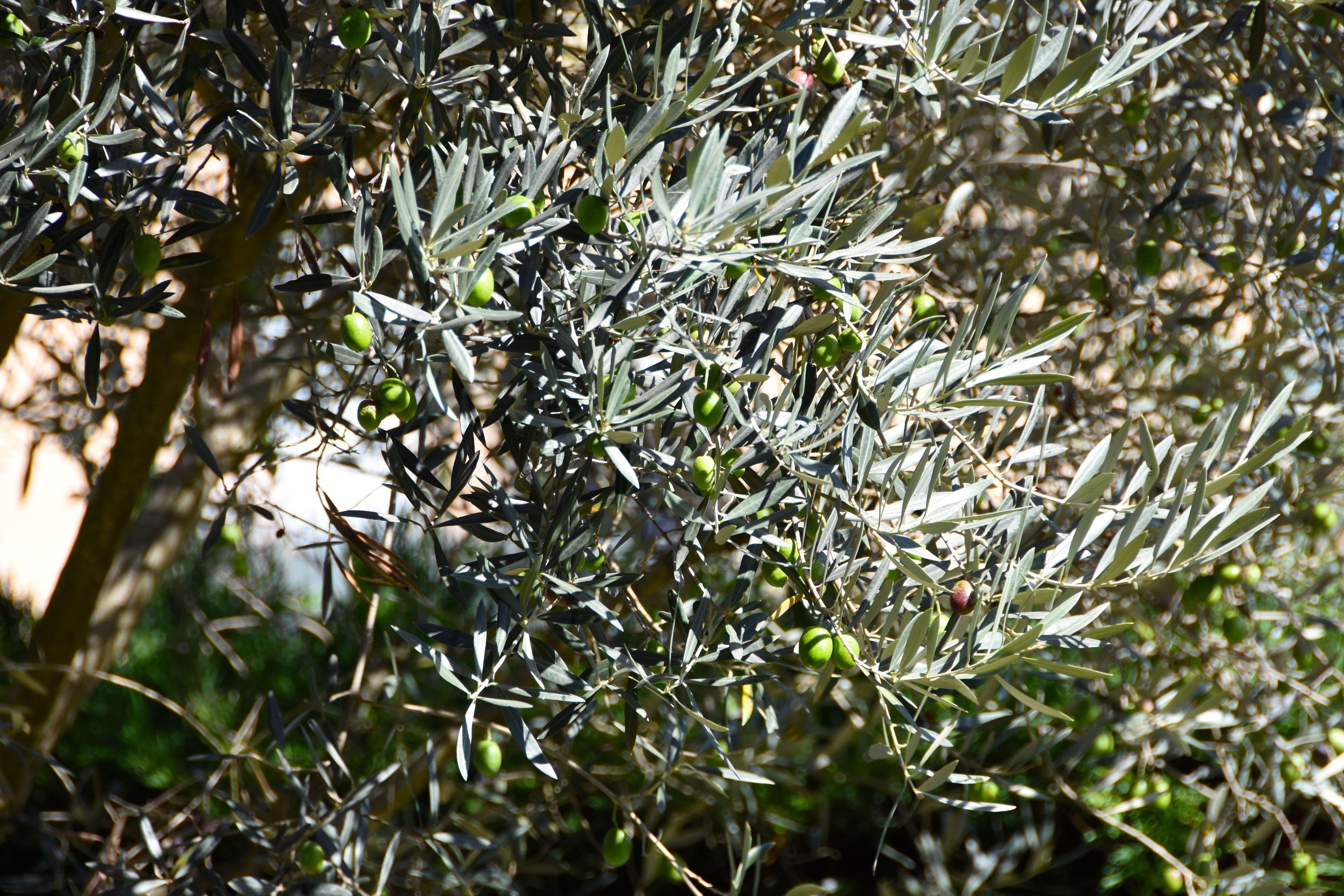 Ulivo e olive